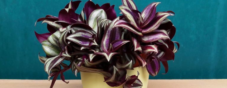 Are Wandering Jews Easy Plants to Grow?