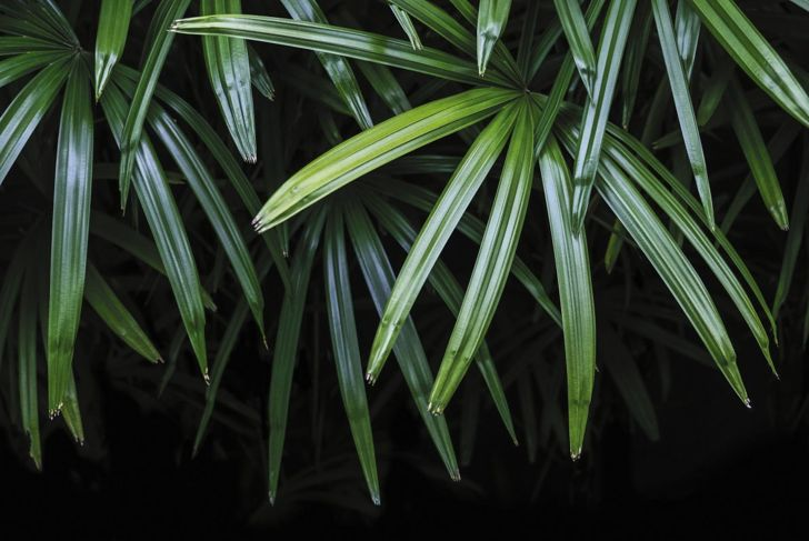 Broad lady palms air purifying plants