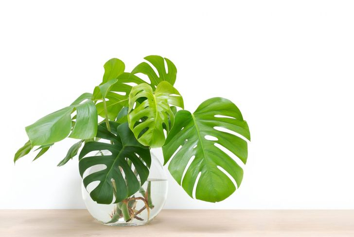 A Monstera deliciosa sits in a vase full of water in an attempt at propagation.