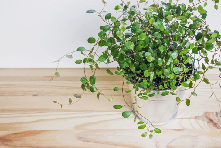 Non-Toxic Swedish Ivy