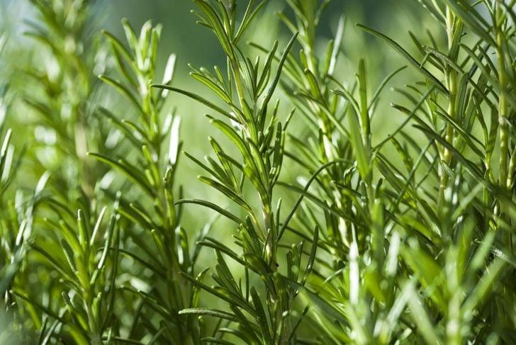 Rosemary flea remedy