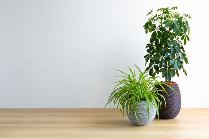 horizontal image of a bright living room with two houseplants, Umbrella Tree and Spiderplant, Schleffera Compacta, Chlorophytum Comosum, copy space