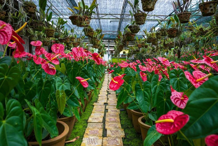 Tailflower (Anthurium andraeanum) in rows at the farm