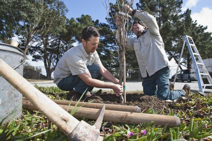 plans renovation planting trees