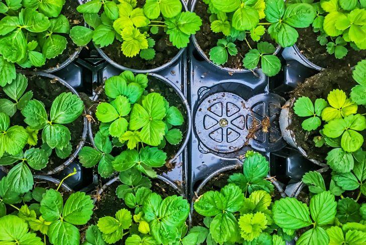 strawberry seedlings pots plants