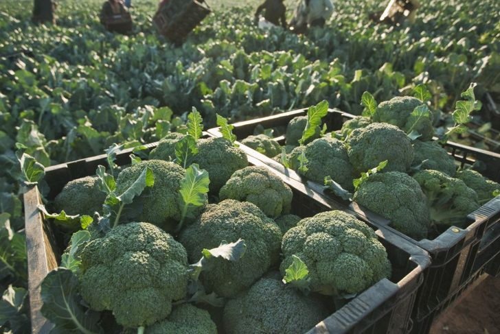 Tips For Planting Broccoli Gardening
