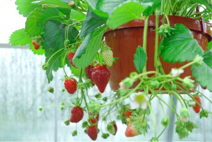 plant pot hanging basket strawberry