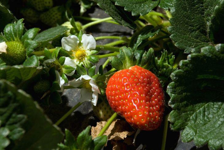 strawberry plant ripe