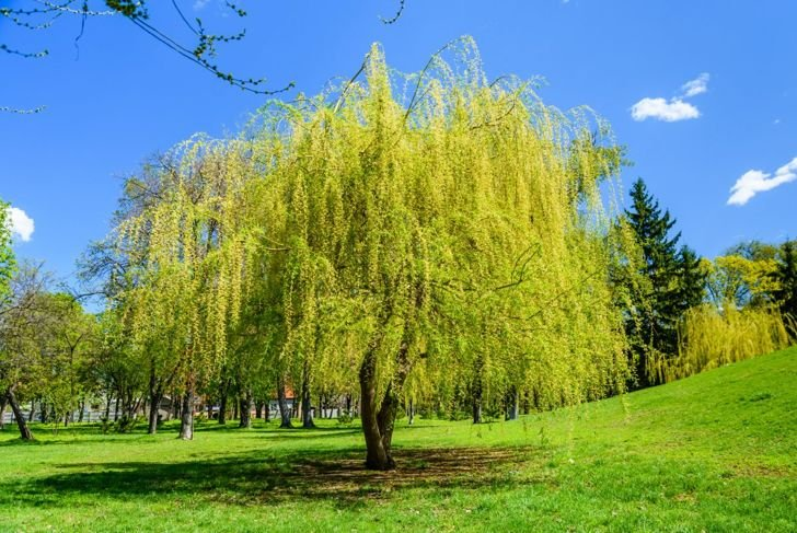 weeping willow park