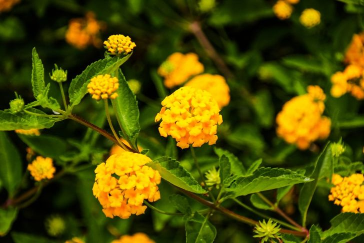 Lantana Flowers Hummingbird Attract Annual