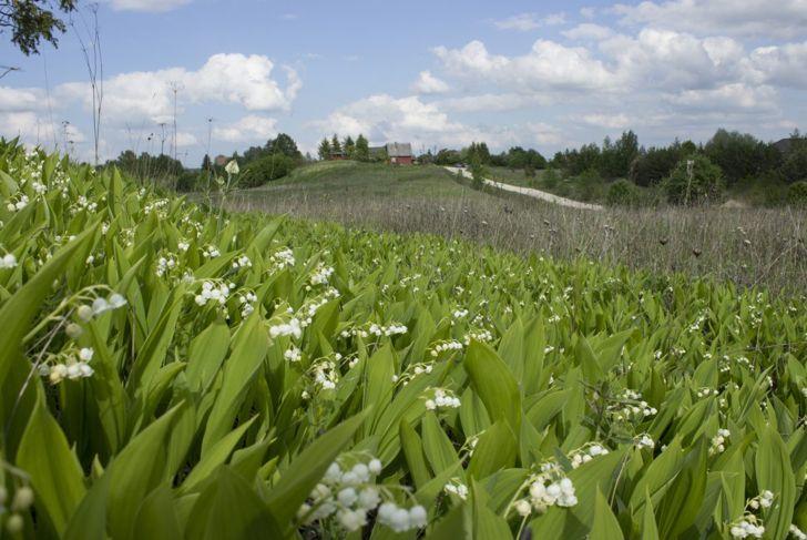 lily valley spread propagate hill