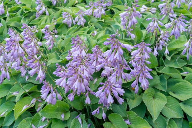 Hosta Hummingbird Flowers Attract Spike