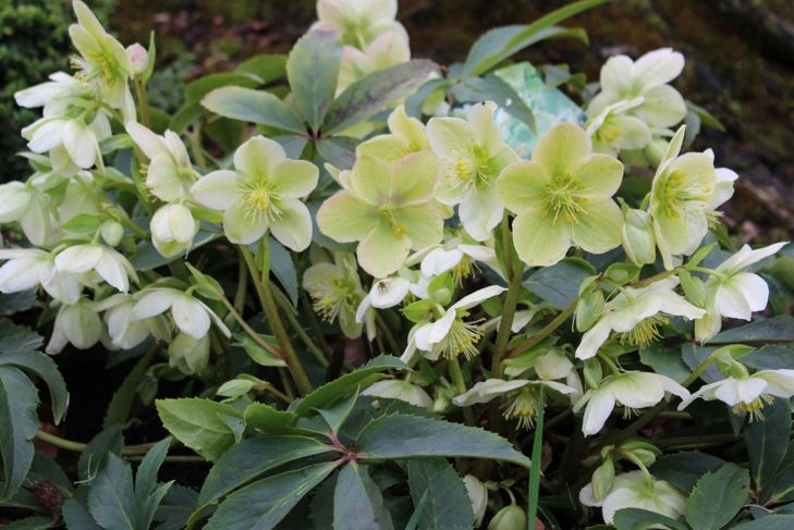 Lenten Rose Shade Sepals Evergreen