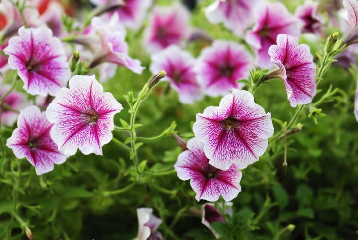 Petunia Summer Bloom Hummingbird