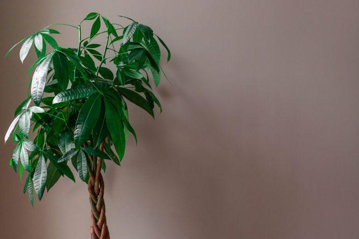 Guiana chestnut, money tree
