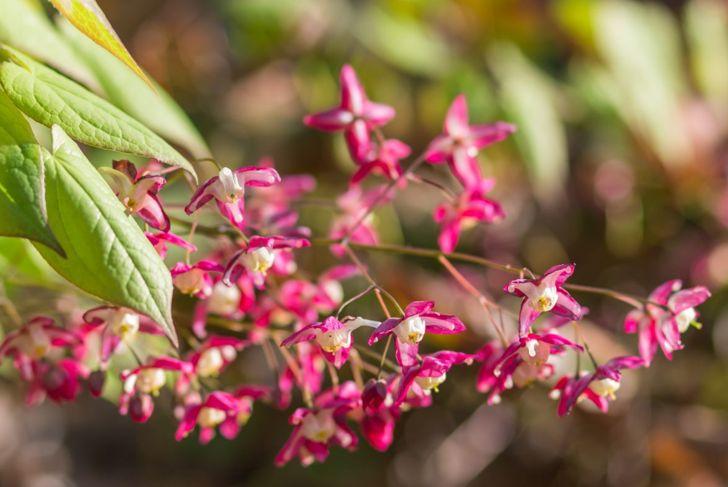 epimedium barrenwort flowers petals