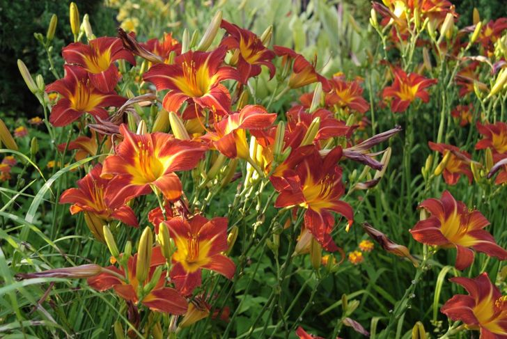 Lillies Perennial Fragrant Summer Fall