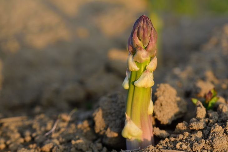 Growing Asparagus From Seed