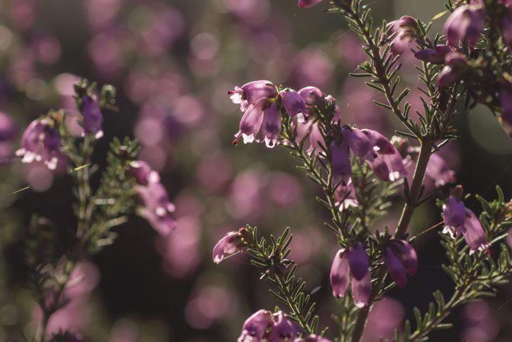 winter heath flowers
