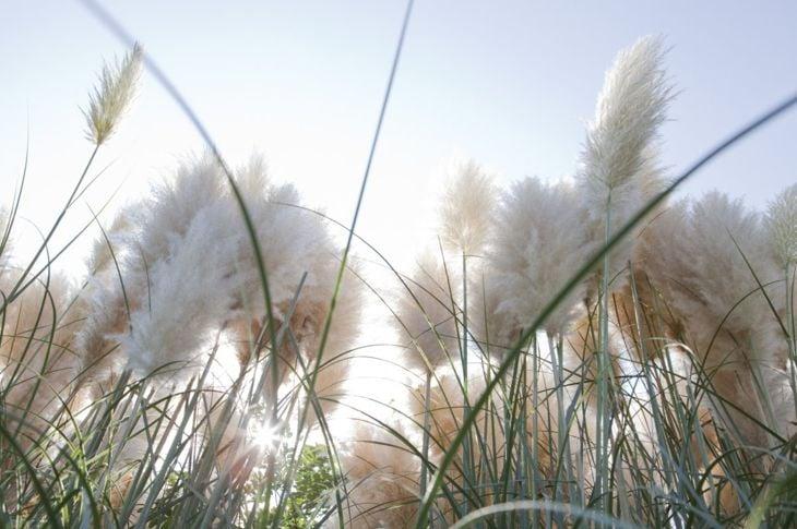 Dwarf pampas grass