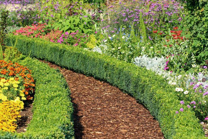 garden boxwood