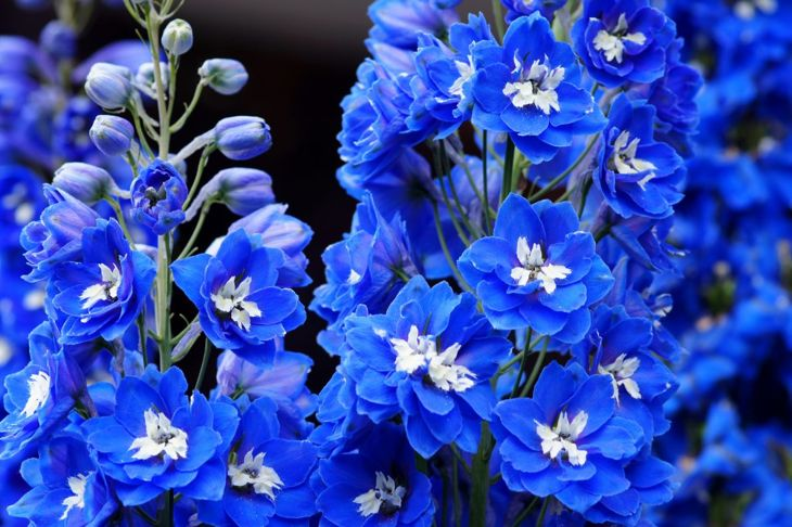 Delphinium Spring Sowing Cool Summer