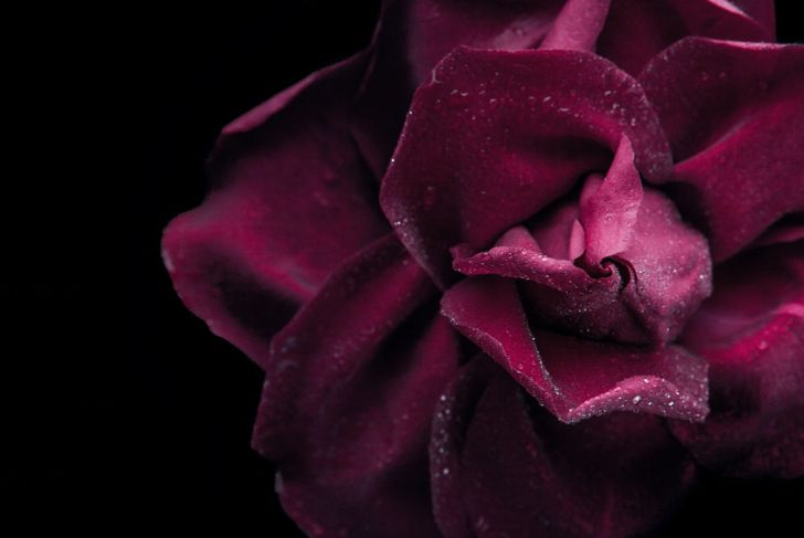 closeup burgundy rose
