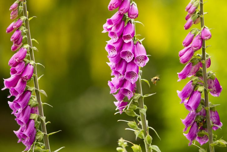 Foxglove Hummingbird Stakes Flowers Spring