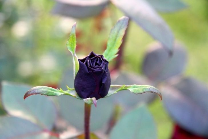 black purple rose blooming