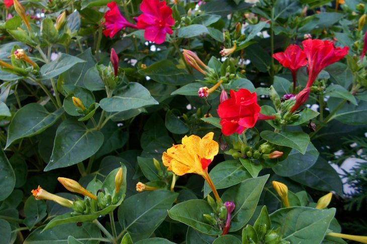 four oclock flowers mirabilis