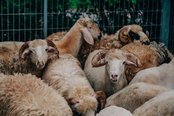 Qurbani halal animal slaughter haram