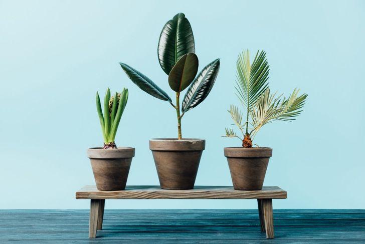 Rubber plant in a trio.