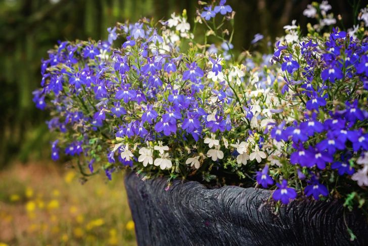 white blue lobelia pot