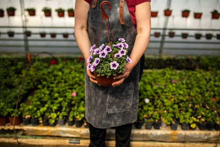 Unrecognizable woman holding petunia in flower pot, standing in greenhouse, wearing apron