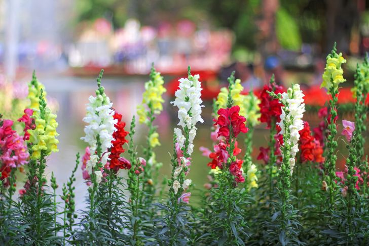 Antirrhinum majus or colorful flowers snap dragon blooming in garden on water background