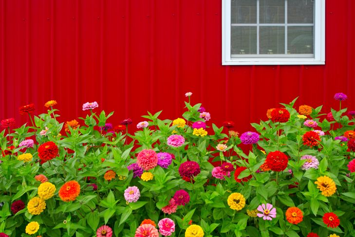 Colorful Zinnias grow in front of a bright red barn.