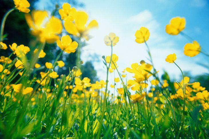 Buttercup Flowers in Meadow