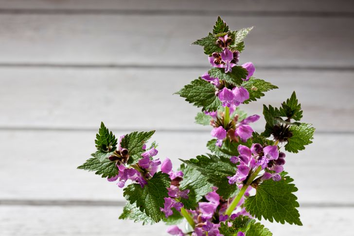 Purple deadnettle on wood,