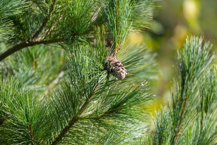 Eastern white pine cone, northern white pine, white pine, Weymouth pine (British), soft pine, Poland, Europe