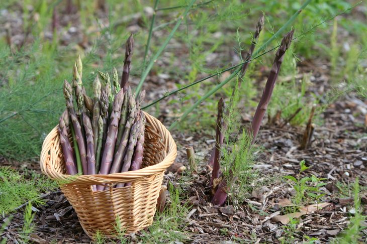purple asparagus in garden