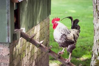 Build the Perfect Backyard Chicken Coop