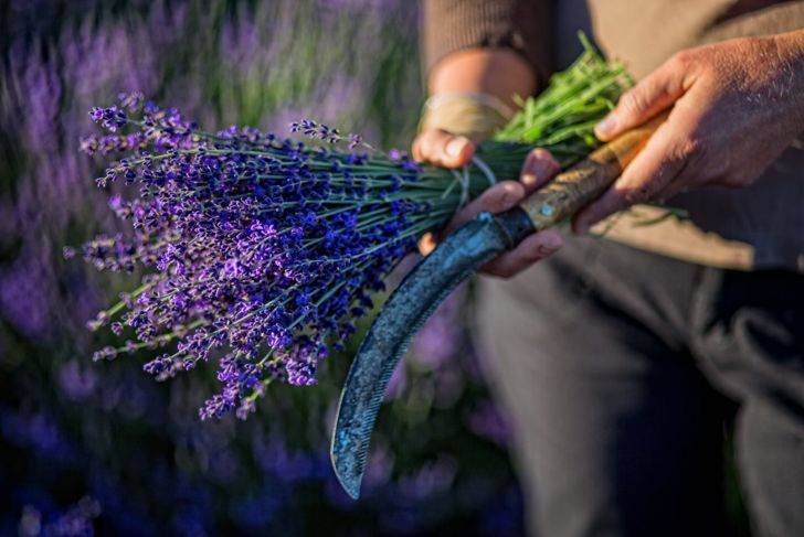 scent repellent upright purple lavender