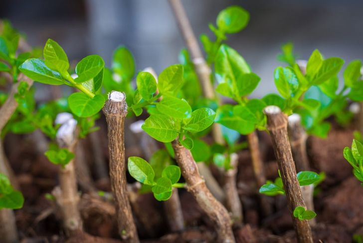 cut shoots hardwood propagating