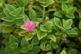 Brighten Your Yard With the Low-Maintenence Ice Plant