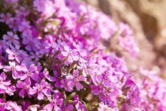 Creeping Phlox: A Vivacious Flowering Plant You'll Love