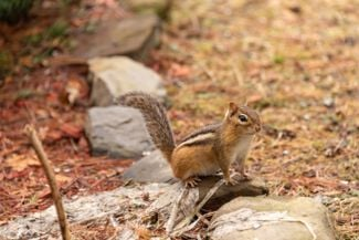 Get Rid of Chipmunks With These Humane Repellents