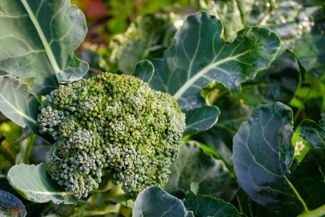Get Your Greens by Growing Your Own Broccoli