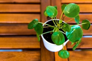 Pilea Peperomioides: How to Enjoy Your Chinese Money Plant to the Fullest