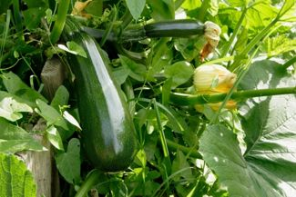 Tips and Tricks For Growing Zucchini
