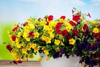 How to Grow the Captivating Calibrachoa
